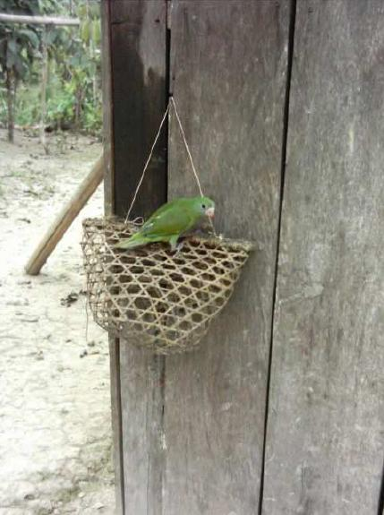 Pet Parrot